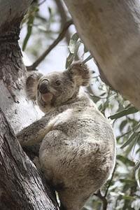Koala, courtesy of Brisbane Times