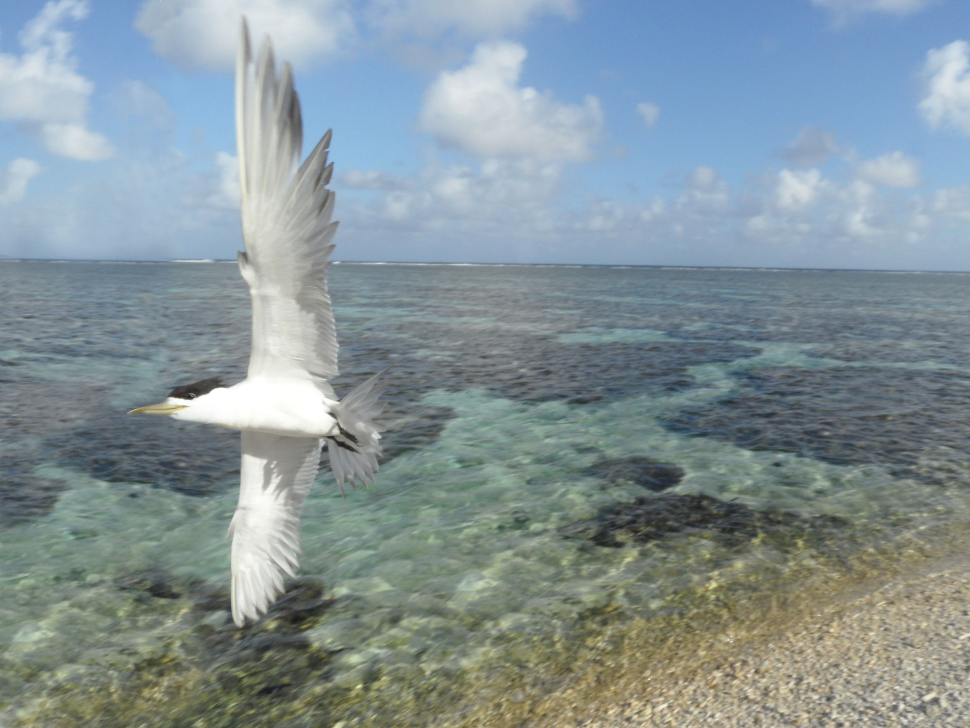 Lady Elliot Island Crested Tern