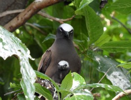 White Capped noddy with her chick during nesting season.
