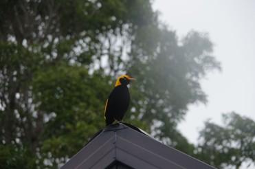 Bow Bird   O'Riley's Rainforest Retreat